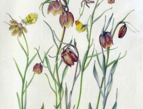 Fritillaria tenella
