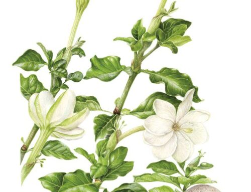 Gardenia thunbergii