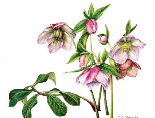 Helleborus x orientalis