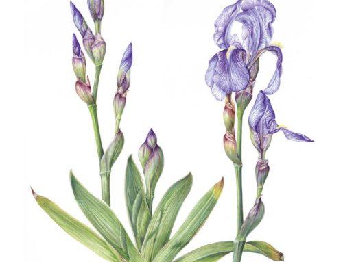 Iris del Gargano