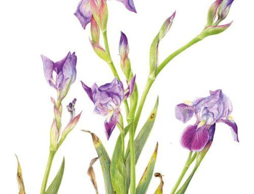 Iris setina