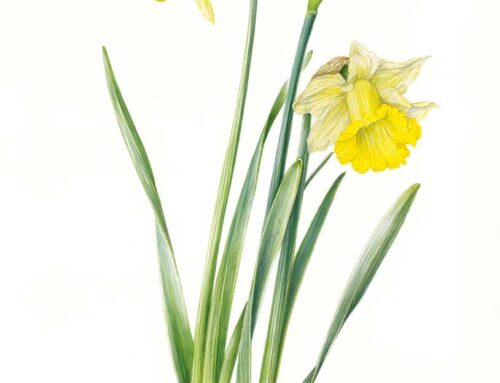 "Narcissus ""St. Patrick"""