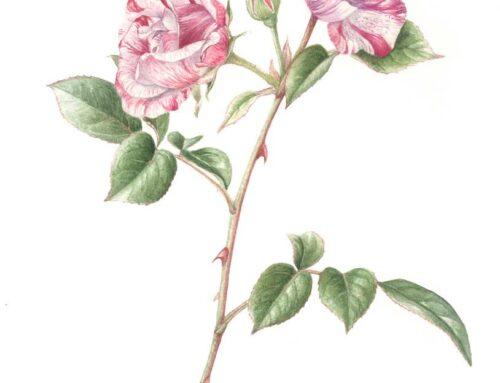 Rosa rinascimento