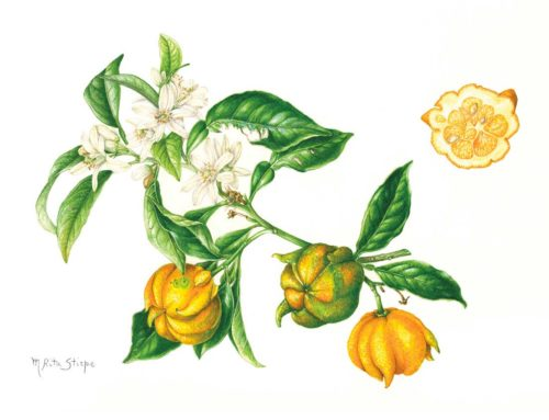 """Citrus aurantium """"Corniculata"""""""