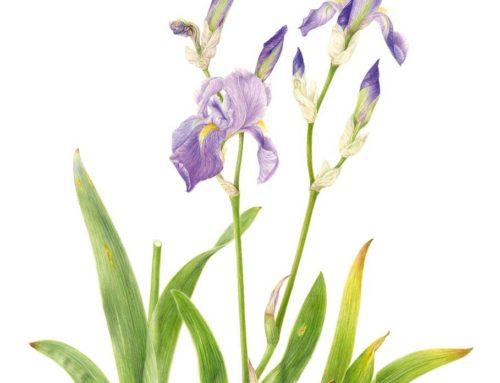 Iris cengialti