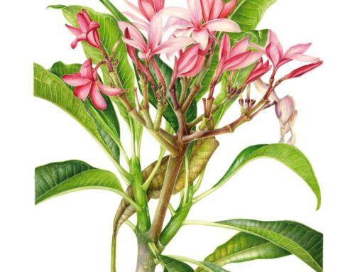 Plumeria acutifolia