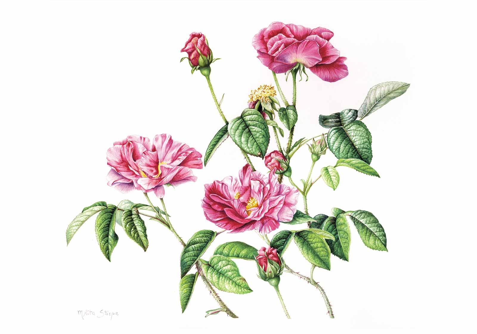 Stampa - Rosa Gallica
