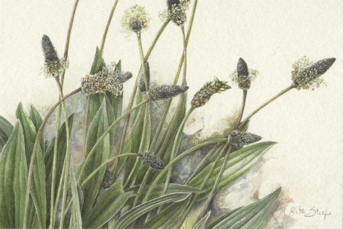 Cartoline - Plantago lanceolata