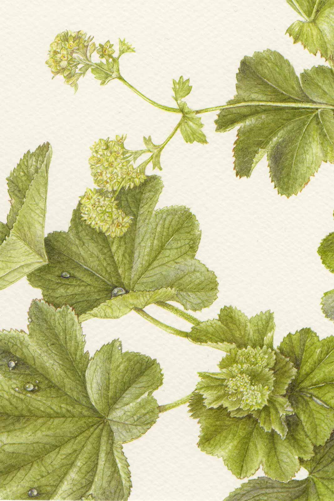 Cartoline - Alchemilla vulgaris