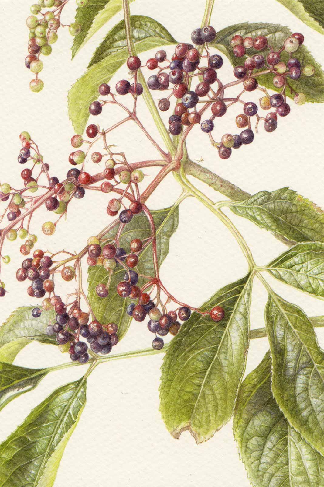 Cartoline - Sambucus nigra