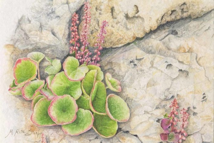 Umbilicus rupestris