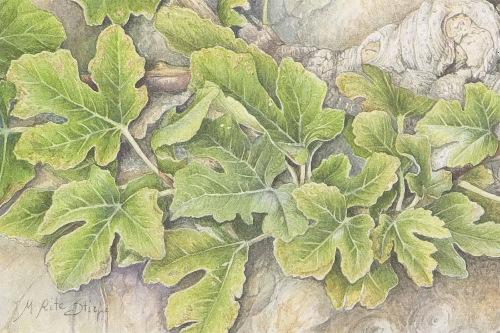 Cartoline - Ficus carica