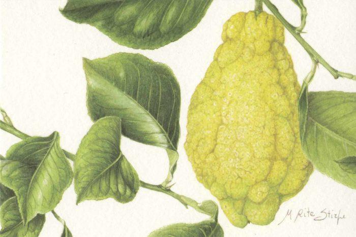 Cartoline - Citrus limon Cajetanus